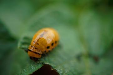 Insekt - Kartoffelkäferlarve