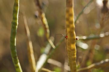 Insekt - Brauer Weichkäfer