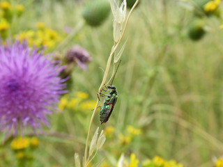 Insekt - Käfer Spanische Fliege