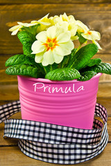 Primroses and flower pot  against wooden background