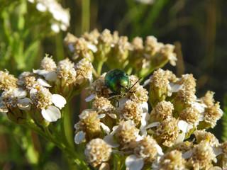 Insekt - Fallkäfer