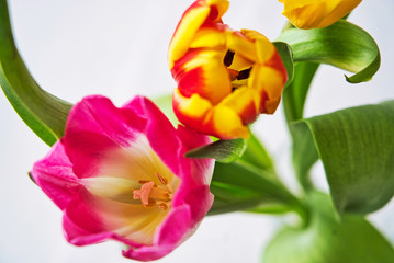 Spring colorful tulips bouquet on white background. Easter and spring greeting card for a International Women's Day.