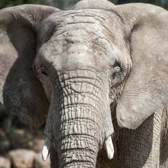 Elephant head portrait