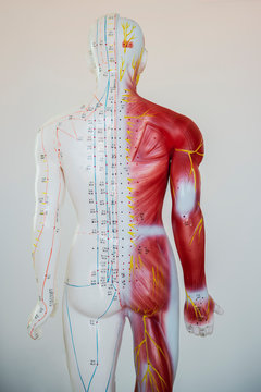 model figurine for chinese acupucture accupressure body muscle nervous system