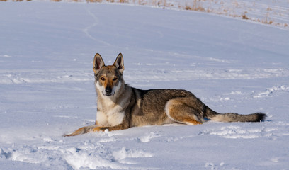 Wolfdog in the snow