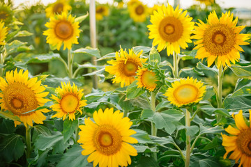 Field of many sunflowers in green leaves. Summer colors