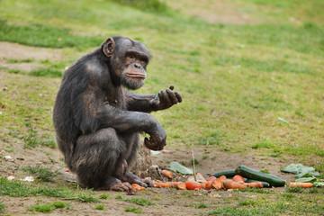 Wall Mural - Common chimpanzee (Pan troglodytes)