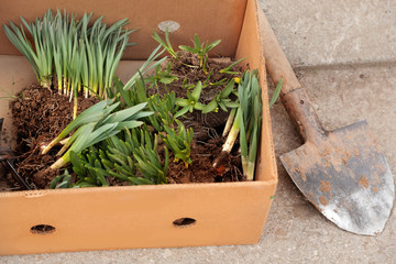 Young hyacinth,  narcissus seedling sprouts in the paper box. Gardening concept.