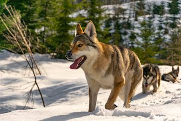Portrait of the wolfdog