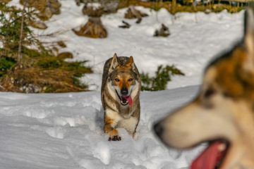 The beauty wolfdog is playing