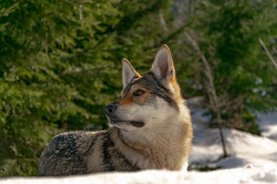 The mindful wolfdog