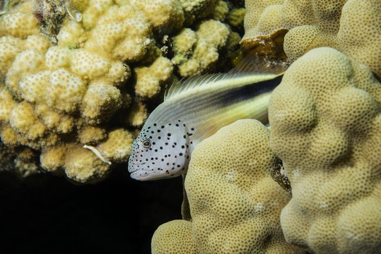 Black-sided hawkfish (Paracirrhites forsteri) rests on coral reef, Red sea, Dahab, Sinai Peninsula, Egypt, Africa