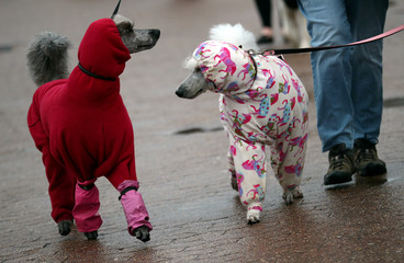 Poodles arrive for the final day of the Crufts Dog Show in Birmingham