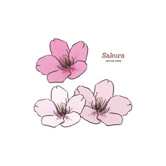 Sakura flower, hand draw sketch vector.