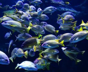 School fish of blue lined snapper fish swimming marine life underwater ocean / Lutjanus kasmira