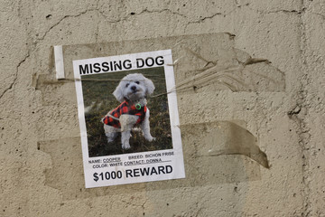 Poster taped to a concrete wall for a beloved missing pet dog a white Bichon Frise with offer of reward money