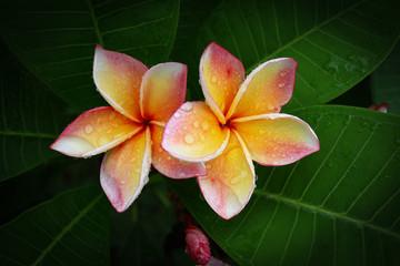 beautiful frangipani perfume flower with water rain drop on petal in rainy morning day