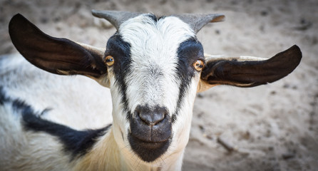 Close up face goat in the farm zoo / Goat funny