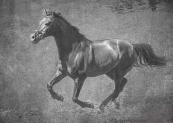 The dark sport horse runs gallop on freedom. In black and white artistic treatment
