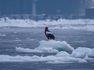 冬の羅臼港のオオワシ