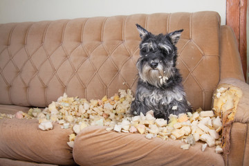 Obraz Naughty bad schnauzer puppy dog lies on a couch that she has just destroyed.  - fototapety do salonu