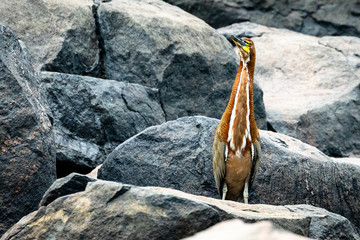 Bare-throated tiger heron in Surinam
