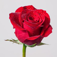 red rose with water drops isolated on white