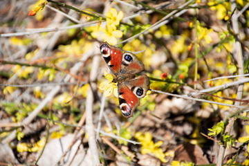 Peacock butterfly on branch in nature, closeup photography
