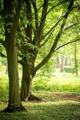 Vintage hornbeam trees in spring park