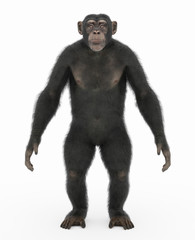 Stehender Schimpanse