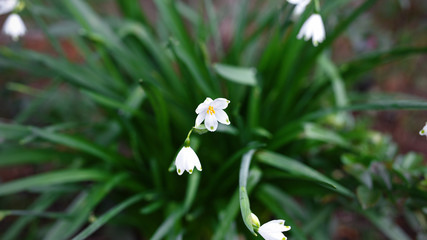 White Summer Snowflake flowers (Leucojum aestivum) in the garden.