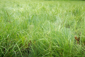 Spring grass in the morning