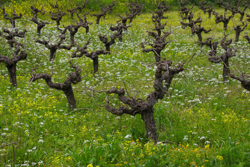 Countryside Panorama, wine plantation in spring, Cyprus