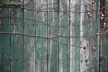 Green wooden wall with vines