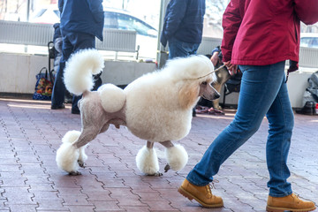 Charming big white poodle with beautiful trendy haircut at dog show
