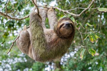 Costa Rica sloth hanging tree three-thoed sloth