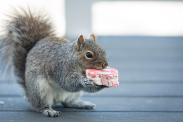 A squirrel eats a snack cake