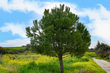 Countryside Panorama in spring, Calabrian pine (Pinus brutia) - Cyprus