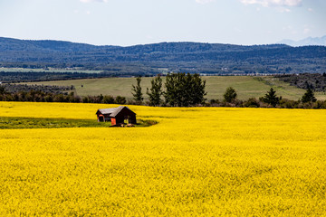 Red barns in a sea of yellow canola, Springbank, Alberta, Canada