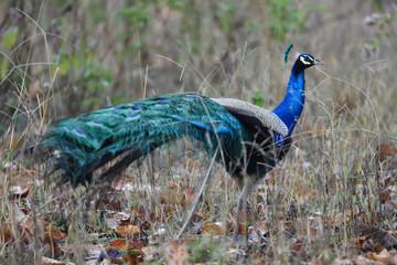 Blue peacock Fototapete