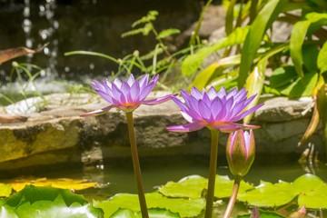 lotus in pond