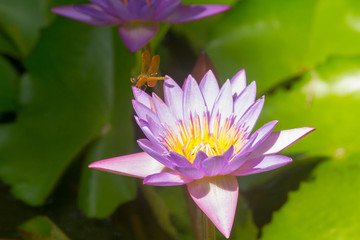 lotus in pond with a dragonfly