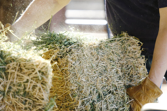 Alfalfa hay being fed during farm chores, shows woman working ranch labor.