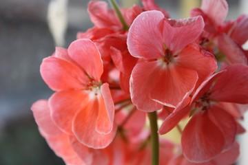 Macro red-pink flower in spring on the window