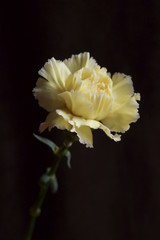 Fotobehang Background with flower - beautiful yellow carnations