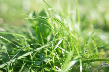 Green grass, close- up, summer time texture background