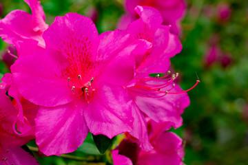 Pink Azalea Close-Up