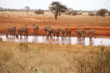 Zebras at the waterhole in Ngutuni sancturary