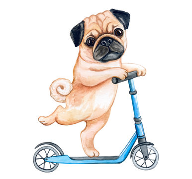 Cute Puppy pug  on a scooter isolated on white background. Watercolor. Illustration. Template. Hand drawing. Clipart. Close-up. Hand painted