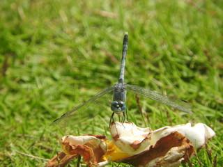 dragonfly on green grass close-up, Sri Lanka
